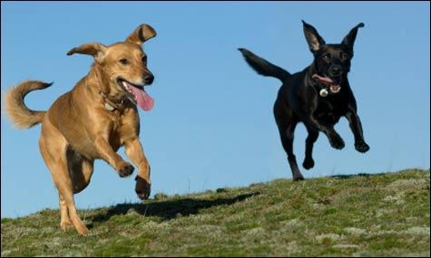 running-dogs